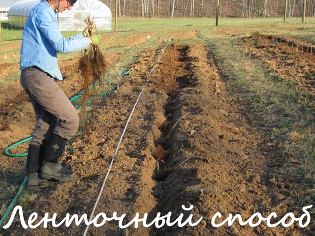 Ленточный способ посадки малины