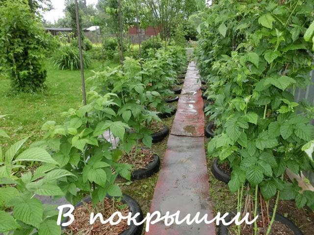 Способ посадки малины в покрышки