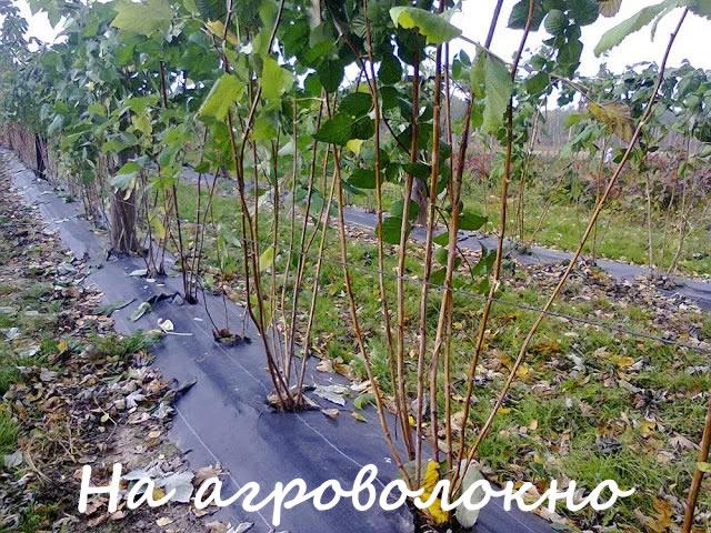 Посадка малины на агроволокно