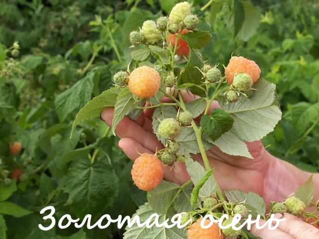Плодоносящий побег малины сорт Золотая осень