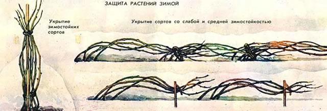 Укрытие малины зимой