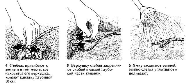 Пошаговая инструкция размножения ежевики