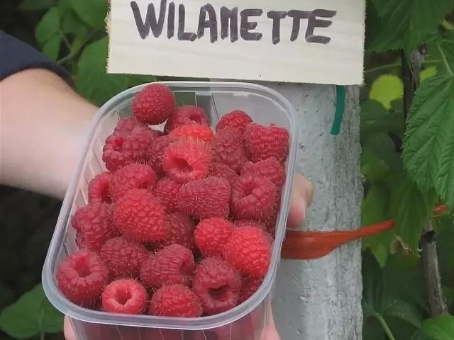 Урожай малины Вилламет