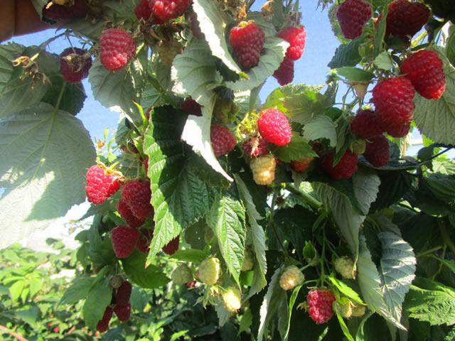 Плодоносящий куст малины Кэролайн