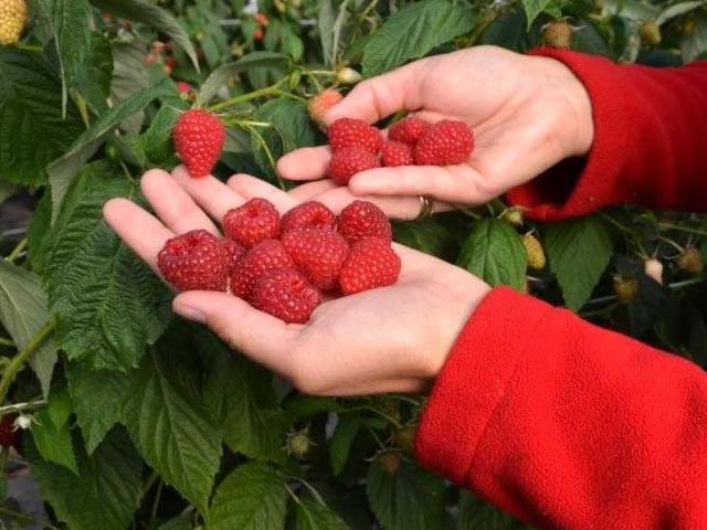 Урожай малины Делнива на ладони
