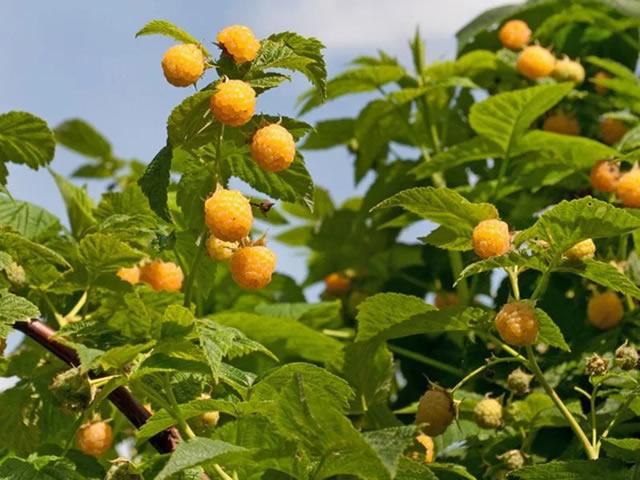 Плодоносящий куст малины сорт Голден Эверест