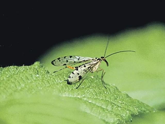 Малинная муха на листке малины