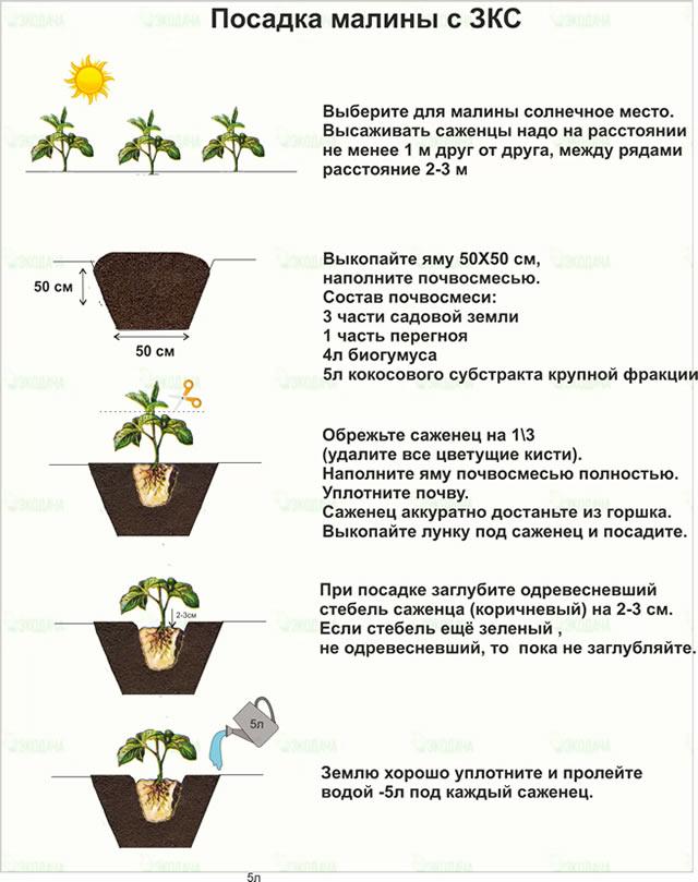 Правила посадки малины с ЗКС